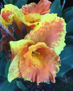 Yellow Orange Iris