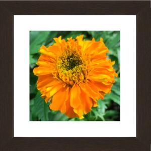 Majestic Orange Marigold
