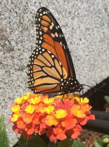 Monarch Butterfly in Harvard Square