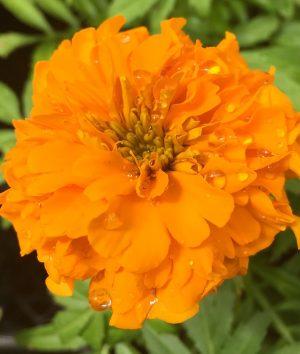 Orange Marigold with Droplets