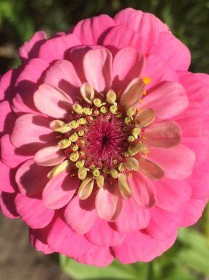 Pale Pink Zinnia