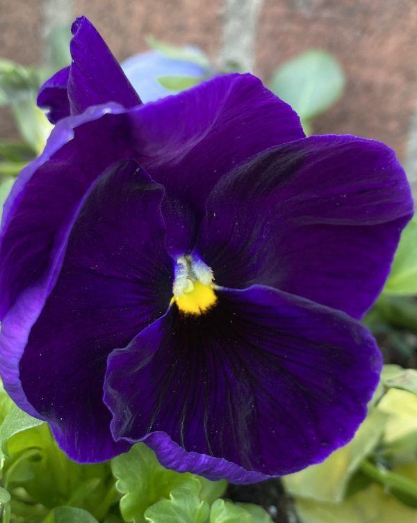Deep Purple Pansy