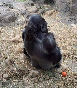 Solitary Gorilla